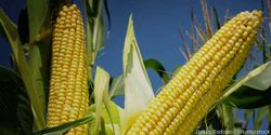 Reject the Next Generation of GMO Crops and Pesticides