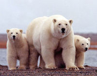 Stop Polar Bear Trophy Hunting!