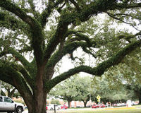 Save the ULL Live Oaks