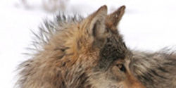 Wolf Delisting and Bad Policy Could Open the Door to Wolf Hunting in Wyoming National Park