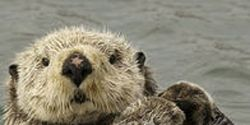 Oppose Alaska's Sea Otter Slaughter