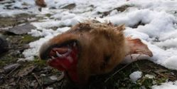 Justice for dog beheaded in Bosnia!