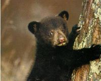 Stop Killing of WI black bears fall of 2010