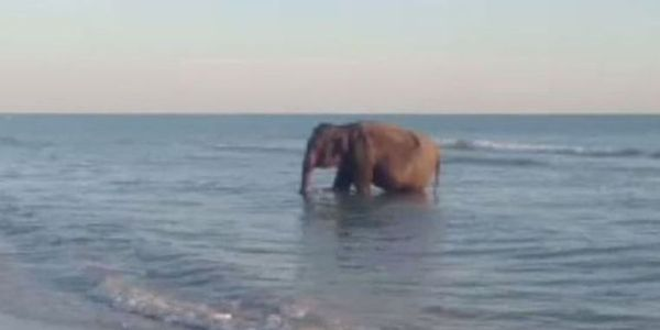 Investigate Why Elephant was Found on Florida Beach
