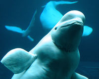 Save Beluga Whales from Pebble Mine