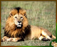 SAVE THE ASIATIC LION