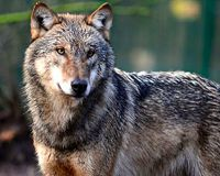 Protect Michigan's Wolves