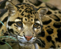 Help Save the Clouded Leopard