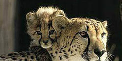Stop Capturing Cheetahs for Cuban Zoo