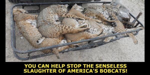 Dead bobcats