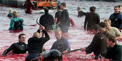 HELP Stop the inhumane slaughter of Pilot Whales and Calderon Dophins in Denmark!