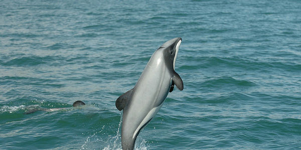 SAVE MAUI'S DOLPHIN FROM EXTINCTION, only 55 left; Act NOW!