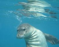 Save the Hawaiian Monk Seal
