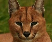 Justice For Caracal Nina - Against Violence to innocent animals!