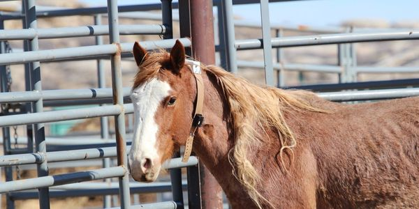 Wild horse with collar on