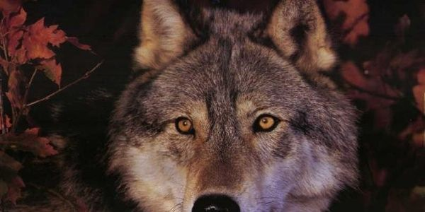 Idaho Stop The Gut and Spine shooting of wolves