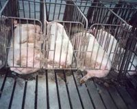 STOP C.A.F.O'S!!!!!!!!!!!! (confined animal feeding operations)