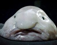 Stop Trawling to Save the Blobfish