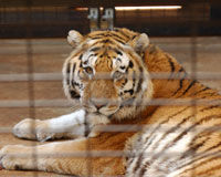 Save Tony the Tiger From His Truck Stop Cage