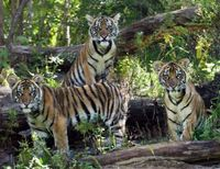 Stop Logging Malayan Tiger Rainforest