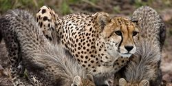 Stop Removing Cheetahs from Africa