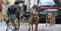 Bosnian Government: Protect the stray dogs instead of killing them.