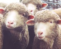 Stop the Mutilation of Lambs in Australia