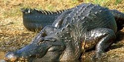 UPDATE Say NO to killing Alligators on a Wildlife Refuge!