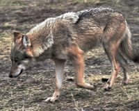 Stop pointless killing of Lithuanian wolves!
