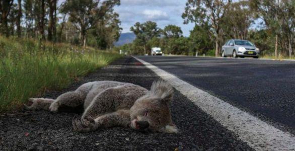 koala laying on road