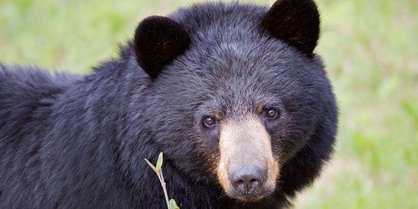 Arrêtez cruels ours agriculture au Vietnam et en Chine