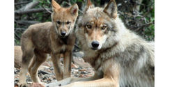 Alaska- Restore No Trapping Zone for Denali Wolves