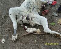 POOR DOG WAS SEXUAL ABUSED AND TORTURED! Until she died -LOZNICA SERBIA, PRESIDENT BORIS TADIC!!!