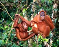 Stop the slaughter of orangutans!