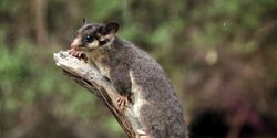 Save Leadbeater's Possum from Extinction