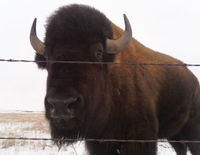 Stop the Slaughter of Yellowstone's Buffalo