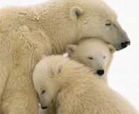 No Euthanasia for Hungry Polar Bears!