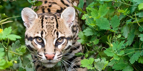 Saving the Amur leopard from extinction