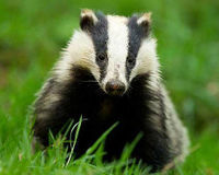 Stop England's Badger Cull