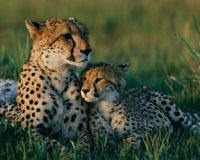 Stop Capture and Removal of Cheetahs