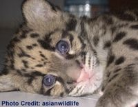 Protect the Clouded Leopards