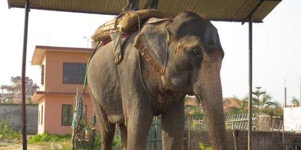 Retire blind, handicapped elephant Pawan Kali - No more tourist rides!