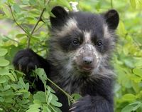 Save the Andean Bear from Extinction