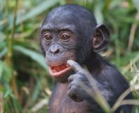 Save the Bonobo from Extinction