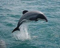 Save The Maui's Dolphin!