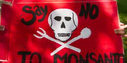 No to Monsanto's Dangerous, Untested GMO Grass in our Lawns!