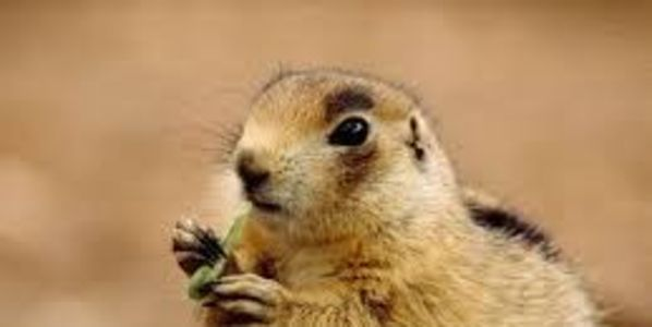 Stop the Poisoning of Thousands of Prairie Dogs