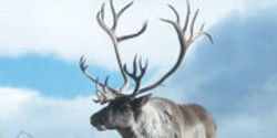 Keep Protections for Migrating Woodland Caribou