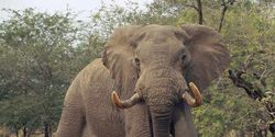 No more Elephants for Auckland Zoo