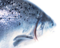 FDA: Say No to Genetically Engineered Salmon!